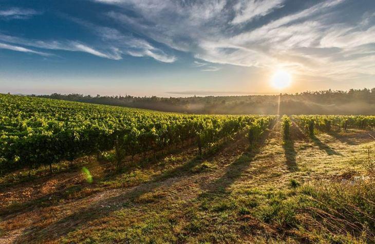 Vinograd i sunce