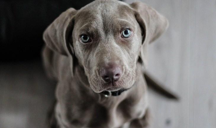 Fotografija sivog psa iz ptičije perspektive