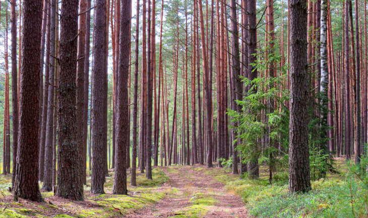 Zemljani put kroz šumu sa visokim drvećem