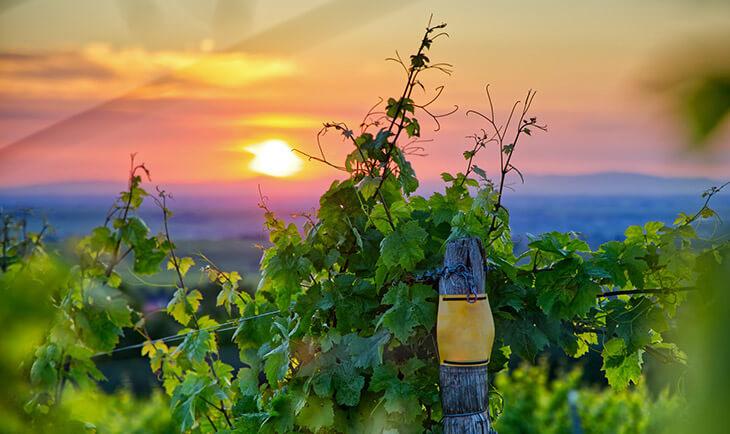 Vinova loza i pogled na zalazak sunca