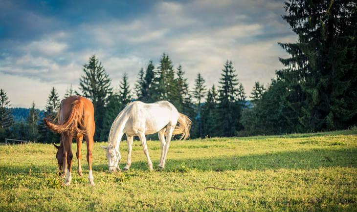 beli i braon konj na livadi ispred zimzelene šume